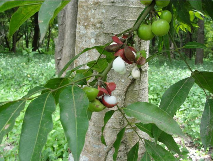 Breu Branco/Copal (Protium hepytaphyllum) (4/5)
