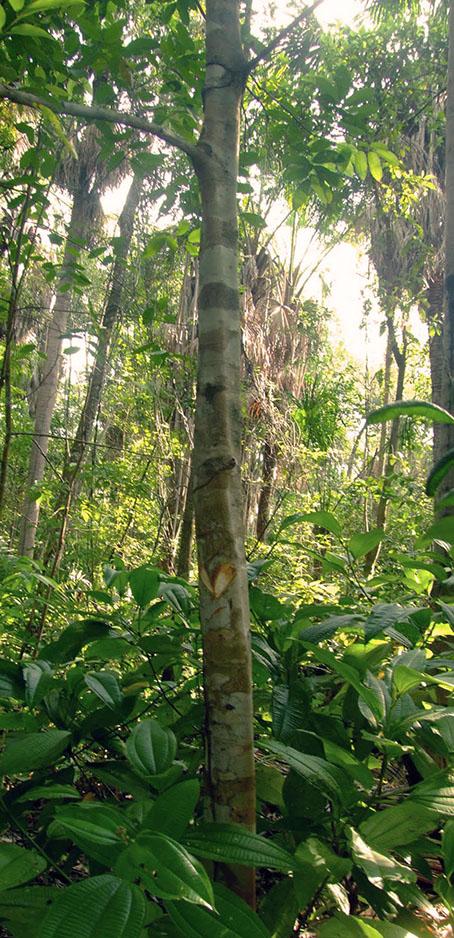 Breu Branco/Copal (Protium hepytaphyllum) (1/5)